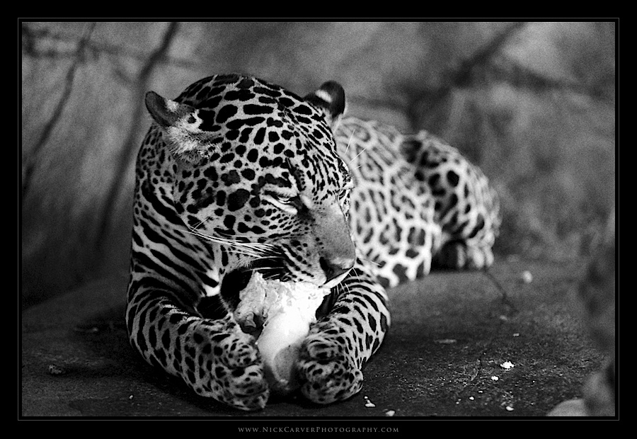 Black and White Wildlife Photography - Nick Carver ...