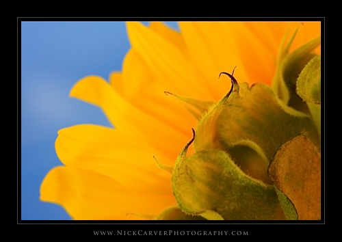 Macro Photo of a Sunflower