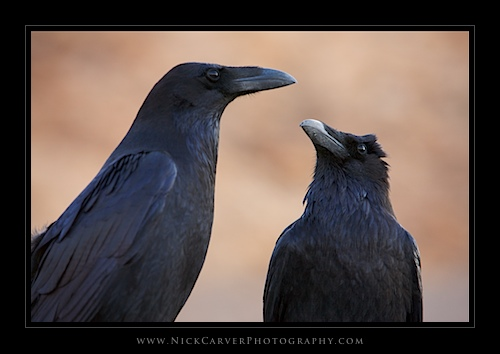 Ravens in Death Valley National Park, CA