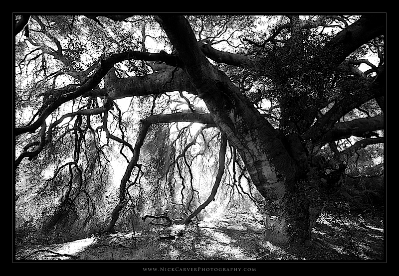 Oak tree in aliso woods canyons wilderness park orange county ca