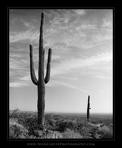 Saguaro Cactus in the Superstition Mountains of Arizona