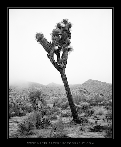 Joshua Tree in Fog in Joshua Tree National Park, CA