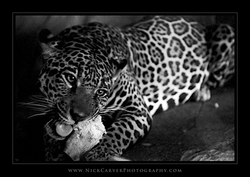 Black and White Wildlife Photography: Jaguar at the San Diego Zoo