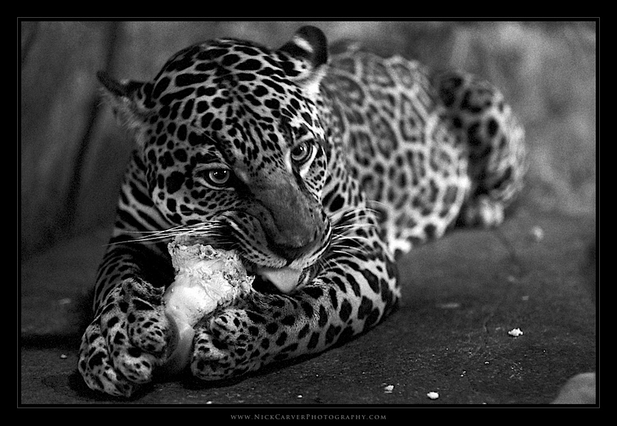 Black and white wildlife photography jaguar at the san diego zoo