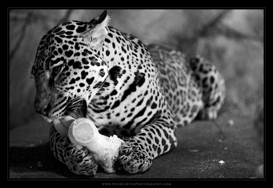 Black and White Wildlife Photography: Jaguar at the San ...