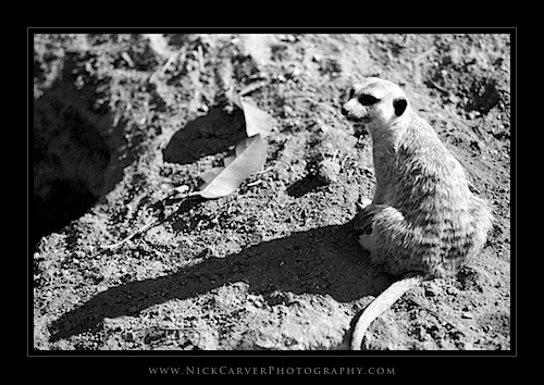 Black and White Wildlife Photography: Meerkats at the San Diego Zoo