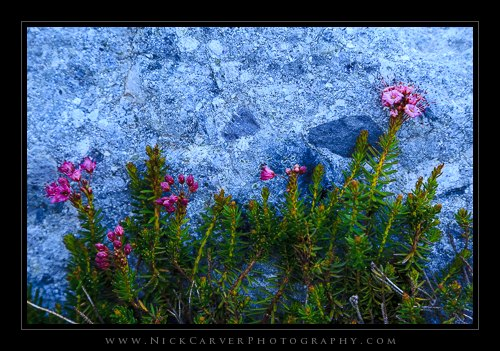 Flowers beside Iceberg Lake