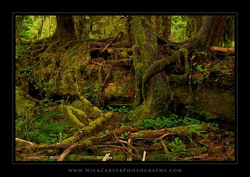 Nurse Log in the Hoh Rain Forest - Olympic National Park, WA