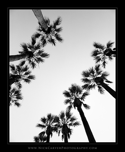 Photo a Day Challenge: Day 2 - Palm Trees on Ilford Delta 100 Film