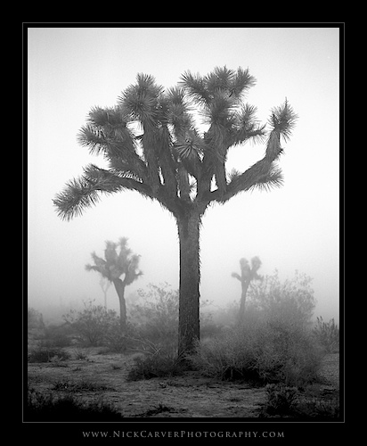 Photo a Day Challenge: Day 14 - Joshua Tree in Fog on Ilford Delta 100 film