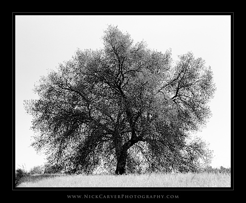Photo a Day Challenge: Day 15 - Oak Tree on Ilford Delta 100 film