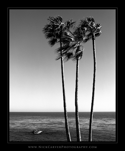 Photo a Day Challenge: Day 23 - Palm Trees in Laguna Beach on Ilford Delta 100 film