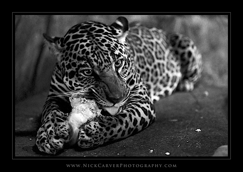 Photo a Day Challenge: Day 28 - Jaguar on Ilford Delta 100 film