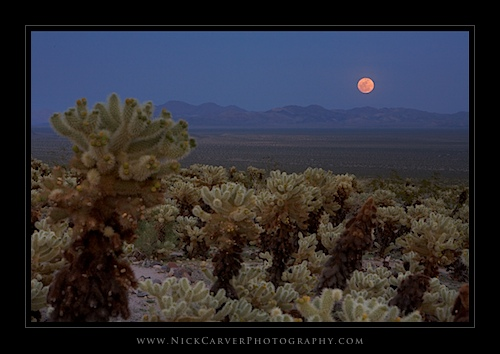 Moonrise over Cholla Cactus in Joshua Tree National Park