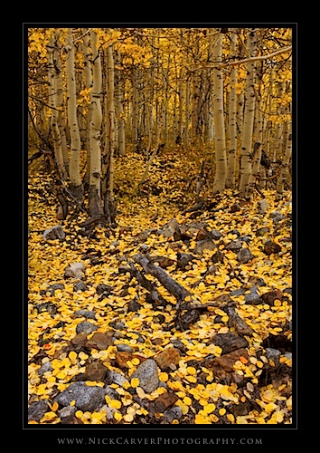 Aspens in fall - Eastern Sierra Nevada Mountains near Bishop, CA